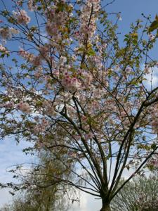 bloeiende-prunus
