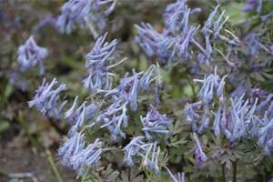 corydalis-blue-leaf