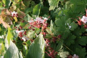 geranium macro. spessart