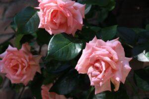 rosa compassion